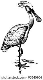 Bird Eurasian Spoonbill