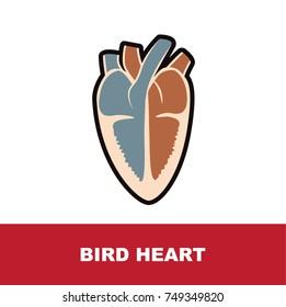 bird heart anatomy vector illustration