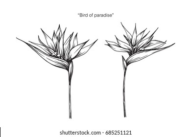 Bird of paradise flower by hand drawing and sketch with line-art on white backgrounds.