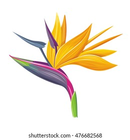 Bird of Paradise flower isolated on a white background. Vector illustration.