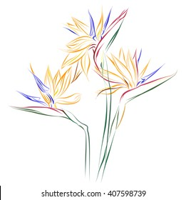 Bird of Paradise flowers (Strelitzia reginae). Vector color sketch of Strelitzia flowers on white background.