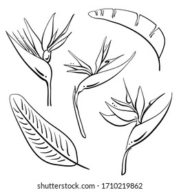 Bird of paradise, strelitzia reginae flowers and leaves. Hand drawn black line sketch of tropical flowers and leaves isolated on white background. Vector illustration