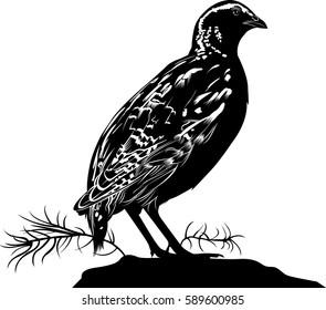 bird quail isolated on white background