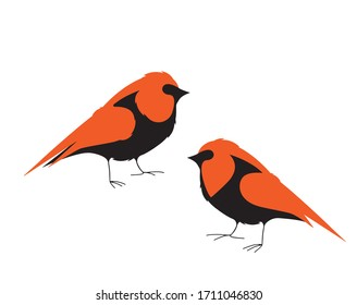 Bird robin illustration, vector. Two birds robin silhouettes isolated on white background.