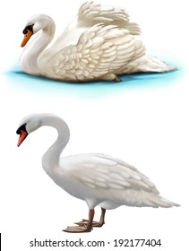 Bird swan swims on a white background, white swan standing
