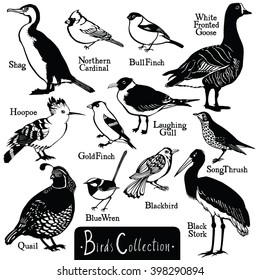Birds collection Birds silhouettes Vector isolated objects BullFinch Shag Hoopoe Quail Blue Wren Black Stork Northern Cardinal White Fronted Goose GoldFinch LaughingGull SongThrush Blackbird