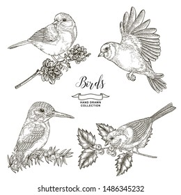 Birds collection. Tits and kingfisher sitting on a branch. Vector illustration. Vintage engraving style.