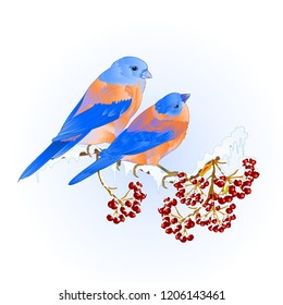 Birds thrush small Bluebirds  songbirdons on on snowy tree rowan and berry winter background vintage vector illustration editable hand draw