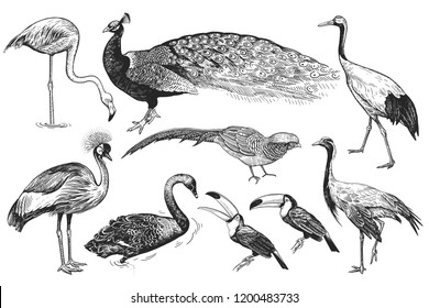 Birds from wild set. Realistic isolated figure of Peacock, Toucan, Flamingos, Pheasant, Crane, Japanese crane, Crowned crane, Black Swan. Black and white hand drawing. Vector illustration. Vintage.