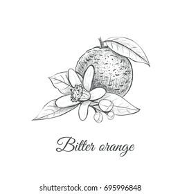 bitter orange vector illustration. bitter orange  skech drawing