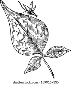 Bittersweet nightshade is a vine-like plant. It is in the same family as tomatoes and potatoes, vintage line drawing or engraving illustration.