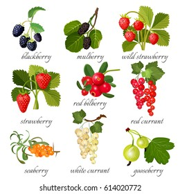 Black blackberry and mulberry, wild strawberry, red bilberry, red and white currant, seaberry and gooseberry with green leaves isolated on white. Ripe healthy organic berries vector illustration.
