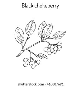 Black chokeberry (Aronia melanocarpa), medicinal plant. Hand drawn botanical vector illustration
