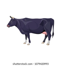 Black cow standing. Side view. Vector illustration isolated on white background