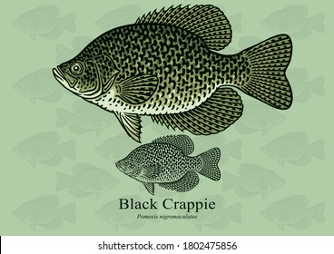 Black Crappie fish. Vector illustration with refined details and optimized stroke that allows the image to be used in small sizes (in packaging design, decoration, educational graphics, etc.)