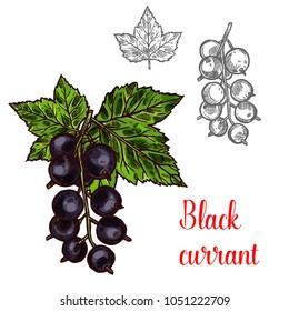 Black currant fruit sketch icon. Vector botanical design of blackcurrant berries bunch with leaf for juice or jam dessert or farmer market isolated color sketch symbol