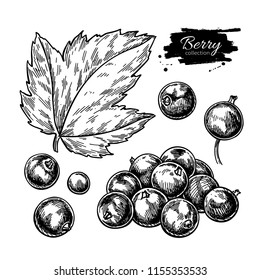 Black currant vector drawing. Isolated berry branch sketch on white background.  Summer fruit engraved style illustration. Detailed hand drawn vegetarian food. Great for label, poster, print