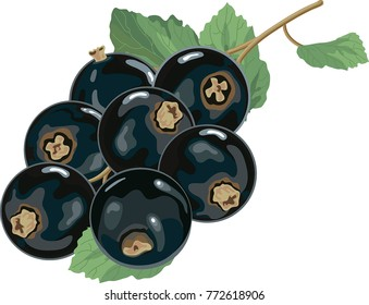 Black currants with leaves simplified reduced both colors and details for cardboard package white background