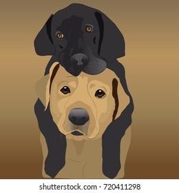 Black and Golden Labrador