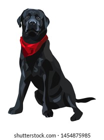 Black labrador retriever dog isolated