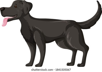 Black labrador retriever in standing pose isolated on white background illustration