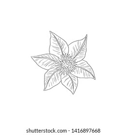 Black Line art Clematis Flower in Top View Hand Draw Detail.  Clematis (Ranunculus) or Nelly Moser