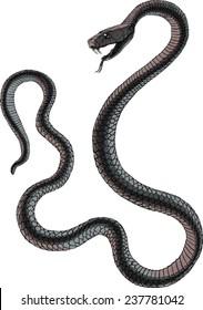 Black mamba uncoiled, head in a three quarter view, teeth bared, ready to strike.