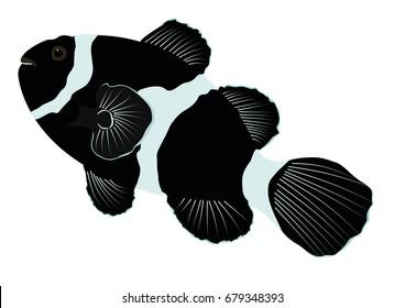 Black Ocellaris Illustration