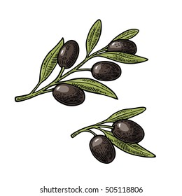 Black Olives on branch with leaves. Hand drawn design element. Vintage color vector engraving illustration for logotype, poster, web. Isolated on white background.
