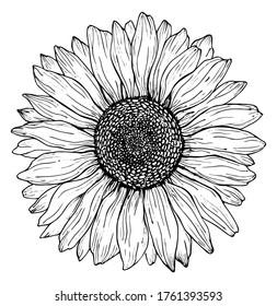 Black outline sunflower line art isolated on white background. Hand drawing botanical vector illustration.