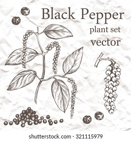 Black Pepper plant set. Hand drawn illustration on grange background.
