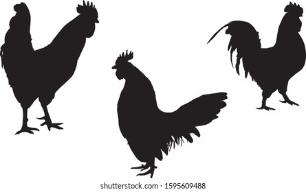 Black silhouette of cock in different poses on a white background. Domestic animals. Vector illustration