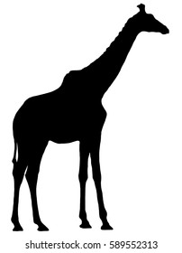 Black silhouette of a giraffe on a white background. Giraffe at the zoo. Nature. Africa.