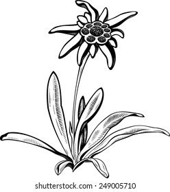 Black silhouette outline edelweiss (leontopodium) flower, the symbol of alpinism, with stalk and leaves,  isolated on white. Vector tattoo illustration. Logo.
