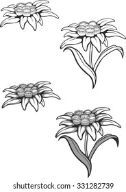 Black silhouette outline edelweiss (leontopodium) flower, the symbol of alpinism, Vector tattoo illustration. Logo.