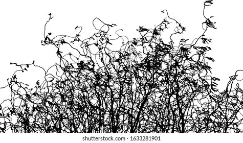 Black silhouette of twisting willow branches of the Salix matsudana species. Curly intertwined bare branches of a shrub with sparse twisted leaves. Overlay template. Vector illustration