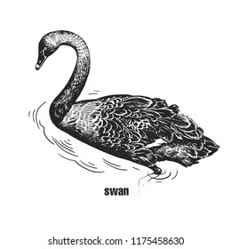 Black Swan. Hand drawing of bird from wild. Black figure on white background. Vector illustration. Vintage engraving style. Realistic isolated figure of waterfowl bird with long neck. Nature concept