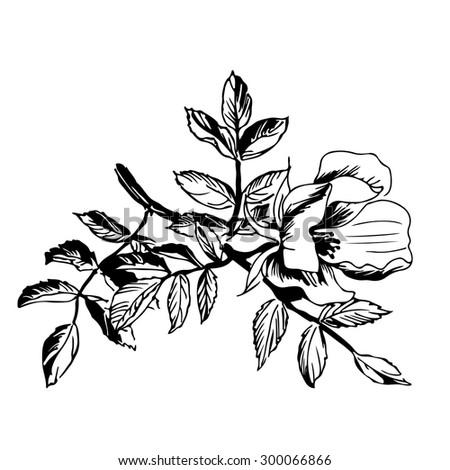 Black White Botanical Illustration Dogrose Stock Vector Royalty