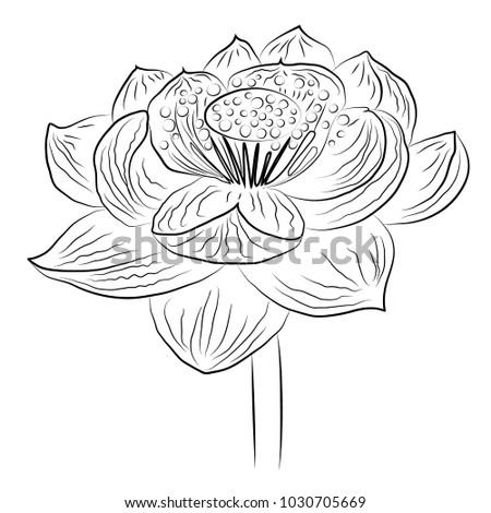 Black White Drawing Lotus Flower Stock Vector Royalty Free