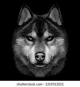Black and white graphic portrait of Siberian Husky on a black background.