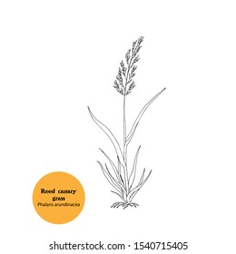 Black and white illustration of  Reed canary  grass, Phalaris arundinacea, plant for forage, hay,fodder. Livestock food. Hand drawing.