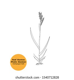 Black and white illustration of Sand bluestem plant, Andropogon hallii, for forage, hay,fodder. Livestock food. Hand drawing. American prairie grass.