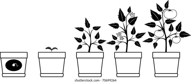 Black and White Illustration of a Tomato Growing