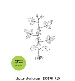 Black and white illustration of young plant of Soybean plant, Glycine max, with green pods, flowers, stem and leaves.