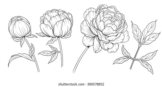 black and white ink  illustration of a peony flowers