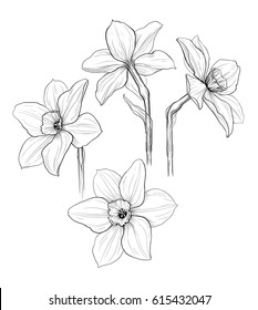 black and white ink isolated illustration of narcissus flowers