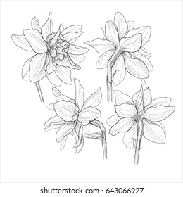 black and white ink isolated illustration of a beautiful  narcissus double flowers