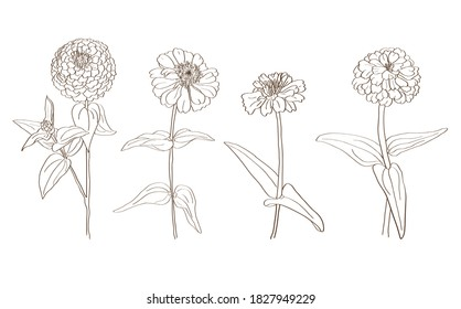 Black and white line drawing of zinnia flowers in vector format.