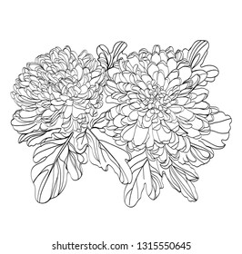 black and white line illustration of chrysanthemum flowers on a white background