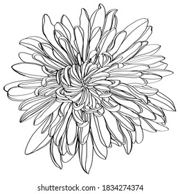 Black and white line illustration of daisy flowers on a white background. Flower chrysanthemum isolated on white
